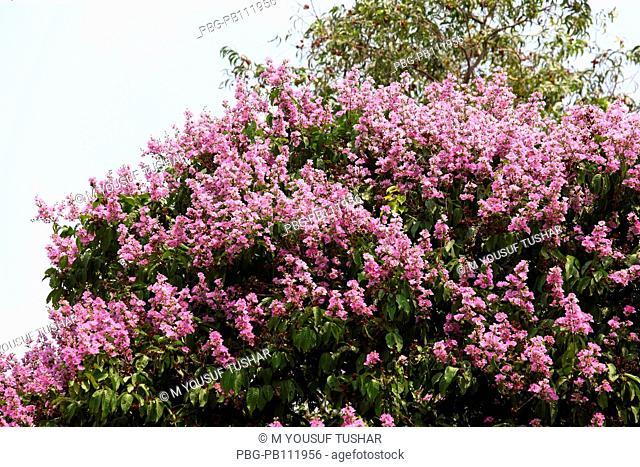 Jarul flower Dhaka, Banbgladesh