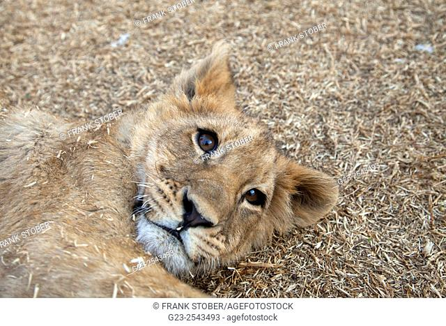 Closeup of lion puppy