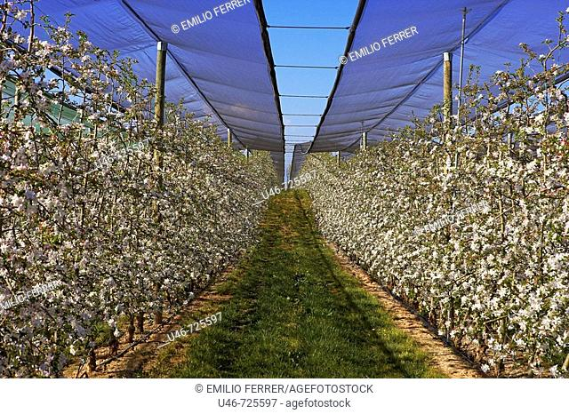 Protective mesh, apple trees in bloom. Lleida province, Catalonia, Spain