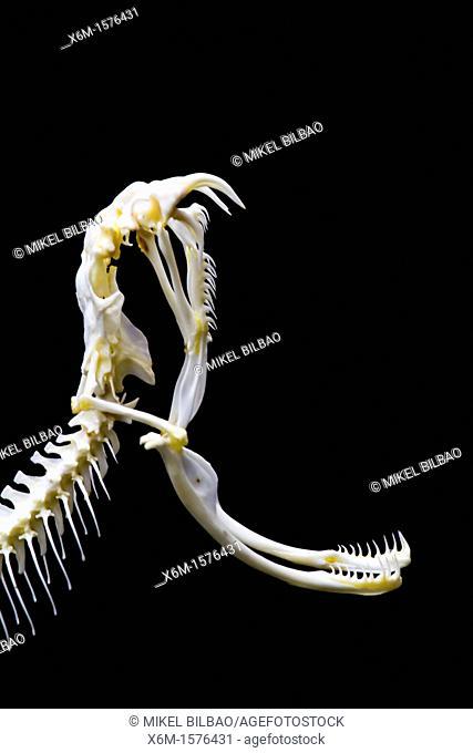 Viper head skeleton