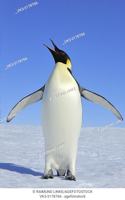 Emperor penguins, Aptenodytes forsteri, Adult Spreading Wings, Snow Hill Island, Antartic Peninsula, Antarctica