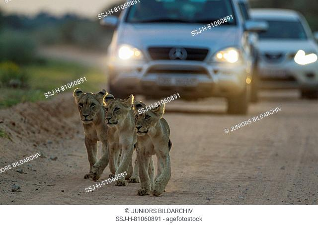 African Lion ( Panthera leo)Three cubs walking on the road at dawn. The cars behind just left a camp for the morning game drive