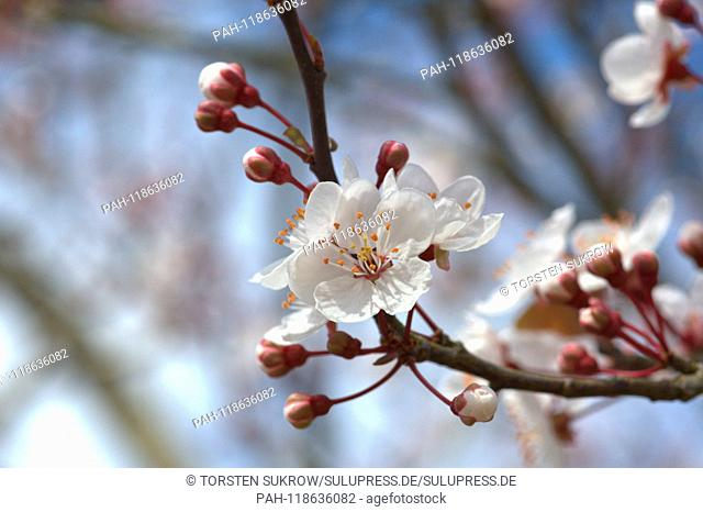 24.03.2019, white flowers and buds on a ornamental plum (Prunus cerasifera Harlequin) in sunshine in Schleswig. Scientific name: Prunus cerasifera