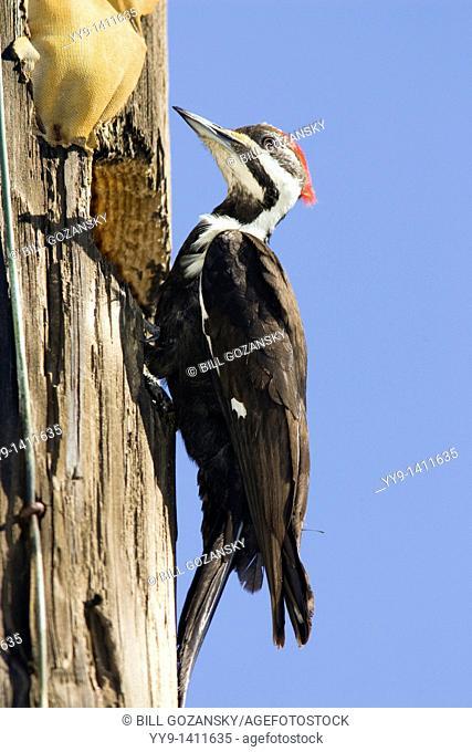 Pileated Woodpecker - J N  Ding Darling National Wildlife Refuge - Sanibel Island, Florida USA