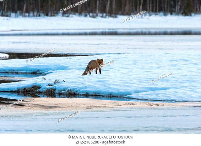 Redfox in winter landscape