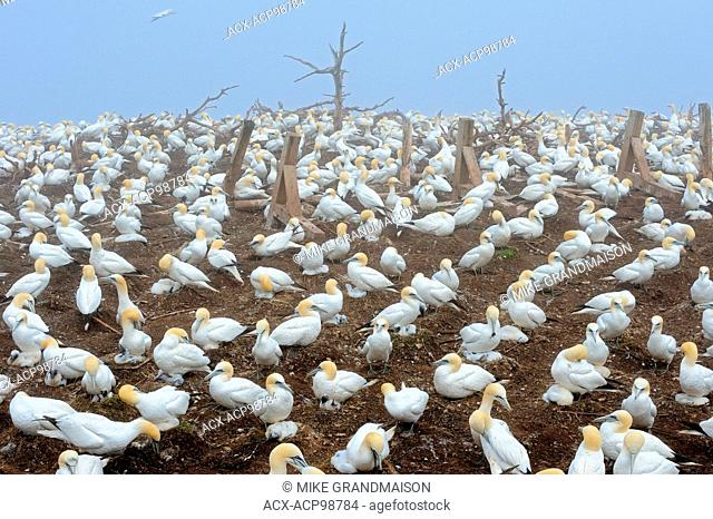 Colony of northern gannets (Morus bassanus) off the Atlantic Ocean Bonaventure Island Quebec Canada