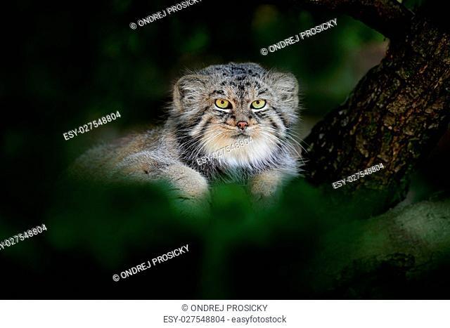 Pallas's cat or Manul, Otocolobus manul