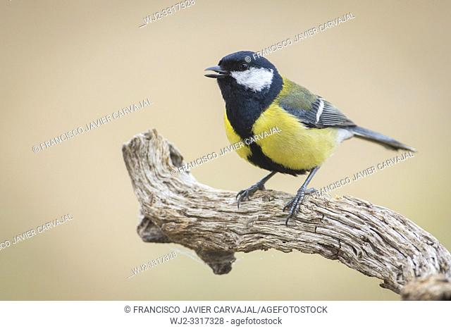 Great tit (Parus major) on a branch at dawn, Extremadura, Spain
