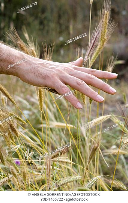 Man hand running his fingers on spikes of uncultivated field, photo taken in Naples, Italy