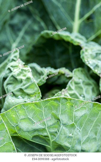 Close-up of cabbage leaves in a garden