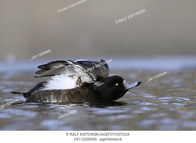 Tufted Duck / Reiherente (Aythya fuligula ) stretching its wings and body on a cold winter day