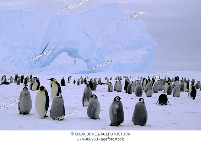Emperor Penguin (Aptenodytes forsteri), 3 month old chicks colony in shelter of decaying grounded iceberg. Atka Bay, Princess Martha coast, Weddell Sea
