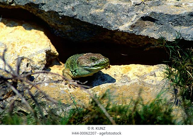 Ocellated lizard, Timon lepidus, Lacertidae, female, lizard, reptile, animal, Languedoc, France