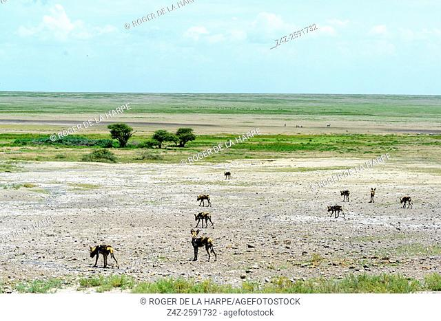 East African wild dog (Lycaon pictus lupinus) pack. Ngorongoro Conservation Area (NCA). Tanzania