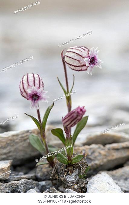 Nodding Campion, Nodding Campion (Silene uralensis arctica), flowering, Svalbard