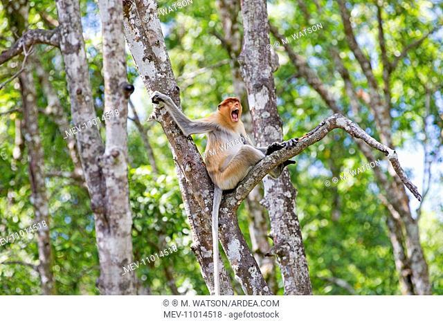 Proboscis / Long-nosed Monkey - calling Labuk Bay, Sabah, Malaysia, Borneo, Asia (Nasalis larvatus)