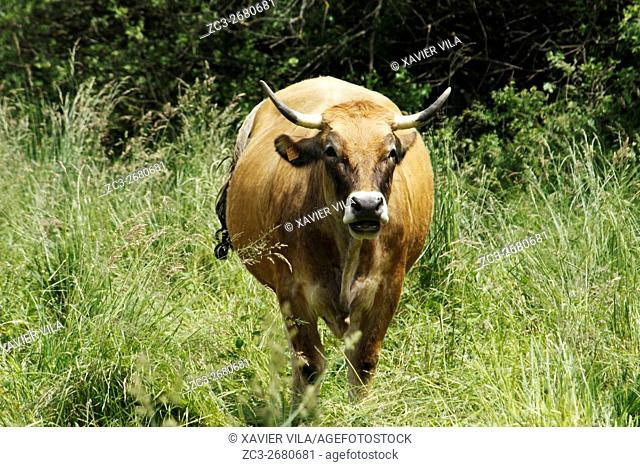 Aubrace Cow in a meadow, in the middle of a weatland, Chatreuse, Isere, Auvergne Rhone Alpes, Isere, France