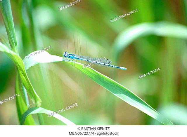 Close-up of a blue dragonfly, azure damselfly sitting on the leaf of a cereal plant
