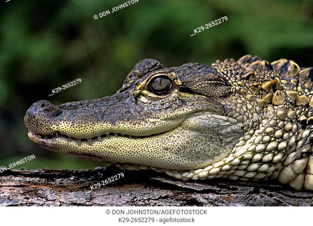American alligator (Alligator mississippiensis) captive, Native to the southern USA, FL, USA