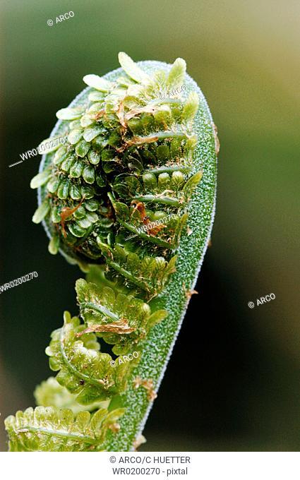 Male, Fern, North, Rhine-Westphalia, Germany,Dryopteris, filix-mas