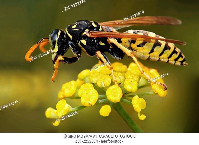 Wasp, Polistes gallicus, Monte dos Pozos, Vigo-Pontevedra, Galicia, Spain