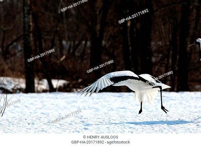 Japanese crane, Red-crowned crane (Grus japonensis), Take-off, Japan