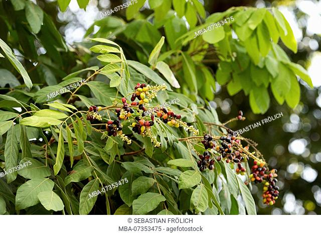 Colorful berries of a tree on the island Pulau Weh, Indonesia