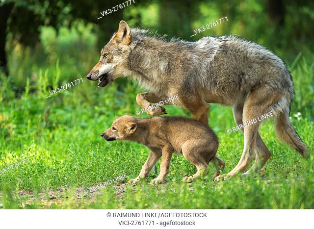 European Gray Wolf, Canis lupus lupus, Female with Pup, Germany