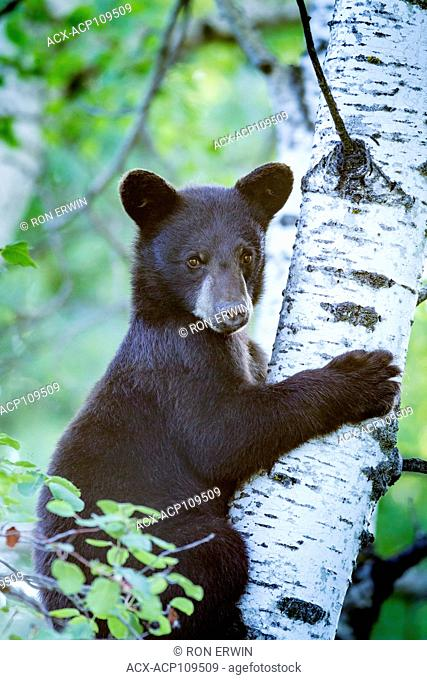 Black Bear (Ursus americanus) cub in a tree in Riding Mountain Nationa Park, Manitoba
