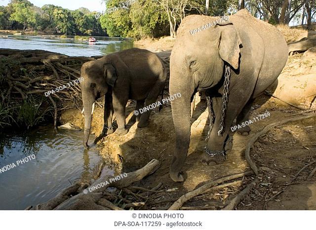 Elephants drinking water in pond in jungle near Mysore ; Karnataka ; India