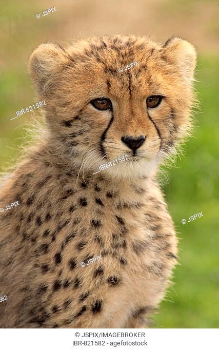 Cheetah (Acinonyx jubatus), young animal, Sabi Sand Game Reserve, Kruger National Park, South Africa