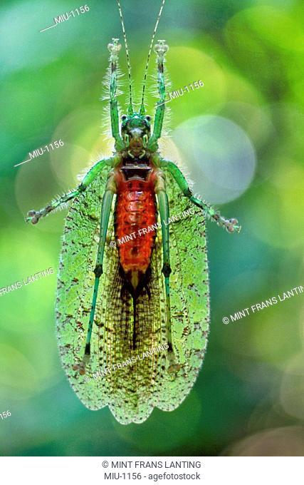 Katydid, Tettigoniidae sp., Sabah, Borneo
