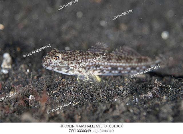 Decorated Goby (Istigobius decoratus, Gobiidae family) on sand, TK1 dive site, Lembeh Straits, Sulawesi, Indonesia