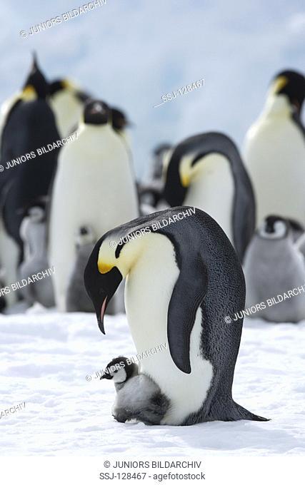 emperor penguin with cub - Aptenodytes forsteri