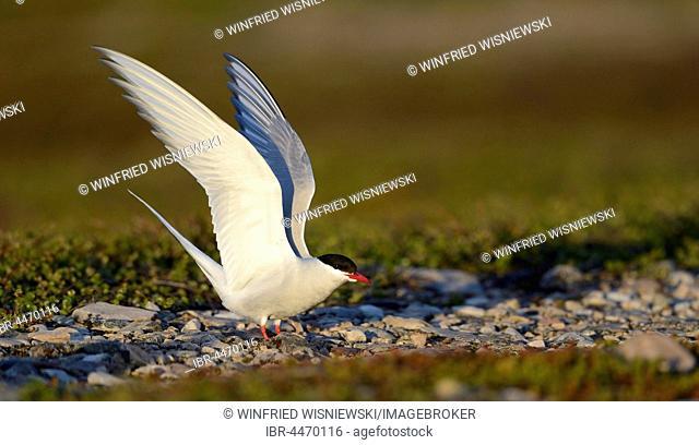 Arctic Tern (Sterna paradisaea) lands, Varanger, Norway