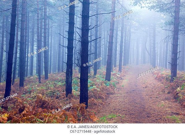 Conifer woodland in Fog Weybourne Norfolk Winter