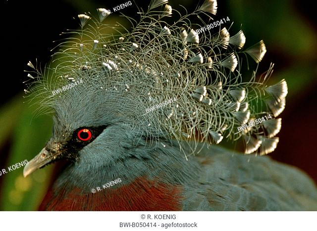 victoria crowned pigeon (Goura victoria), lateral portrait
