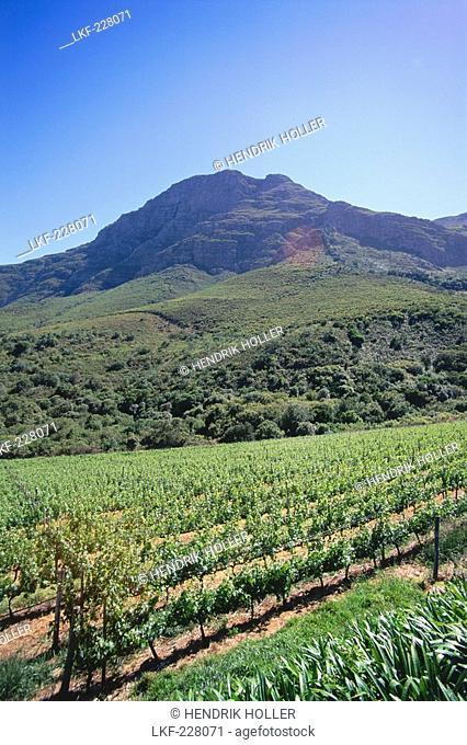 Vineyard impression at De Trafford Winery, Stellenbosch, Western Cape, South Africa, Africa