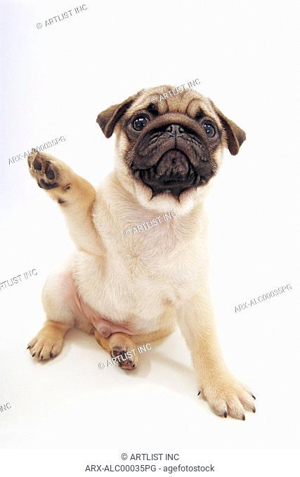 A sitting puppy raising a leg
