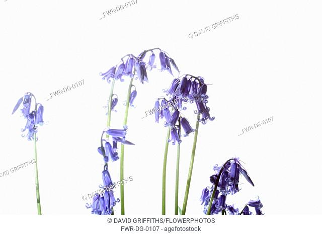 Bluebell, English bluebell, Hyacinthoides non-scripta, Stems and pale blue flower heads shown against a pure white background