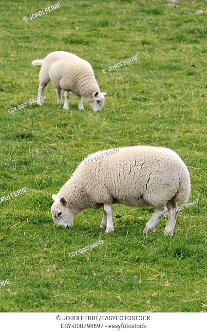 Lambs on a grassland, Highlands, Scotland, United Kingdom, Europe