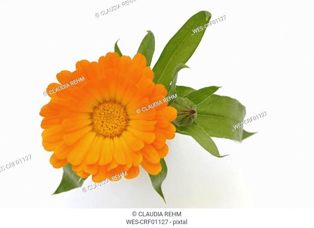 Marigold Calendula officinalis, close-up, overhead view