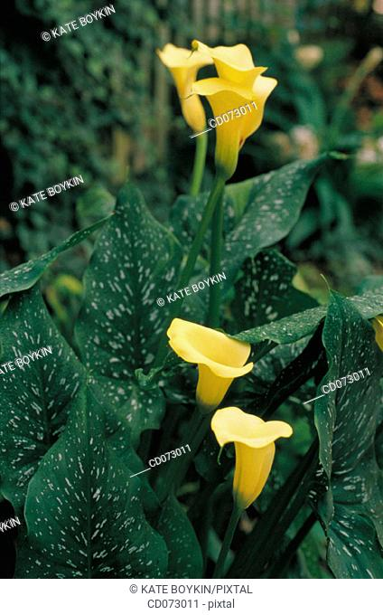 Calla Lily (Zantedeschia sp.)