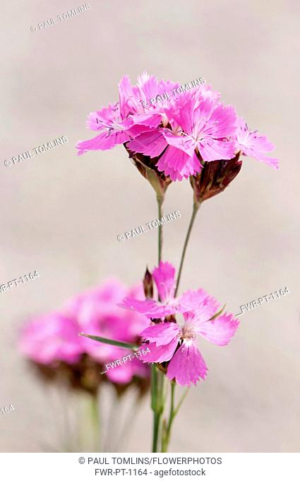 Pink, Carthusian pink, Dianthus carthusianorum, Close view of several flower stems against a pale grey background