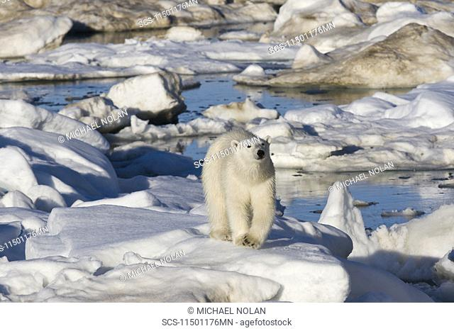 Curious young female polar bear Ursus maritimus on multi-year ice floes in the Barents Sea off the eastern coast of Edgeÿya Edge Island in the Svalbard...