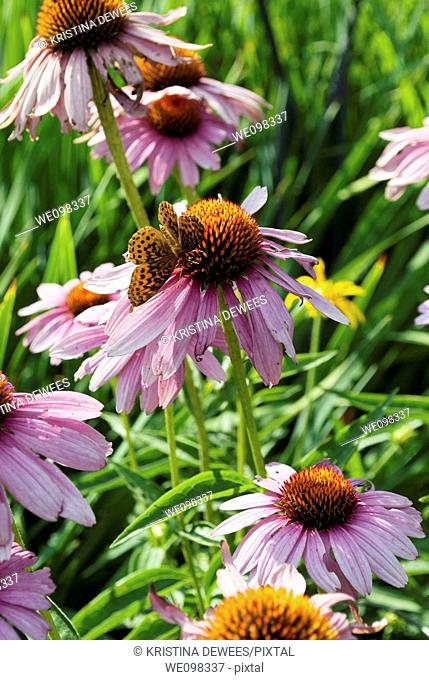 A black and orange butterfly visiting a bunch of Purple Coneflowers