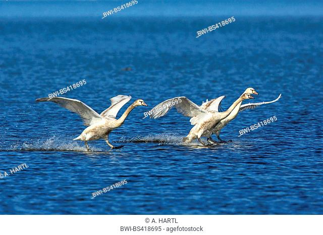 mute swan (Cygnus olor), three mute swans gliding at the landing over the water, Germany, Bavaria, Lake Chiemsee