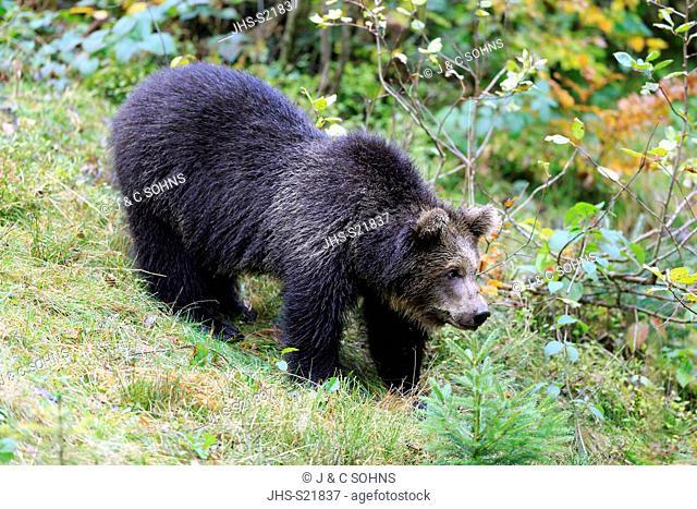 Eurasian brown bear, (Ursus arctos arctos), young walking in autumn, Bavarian Forest National Park, Germany, Europe