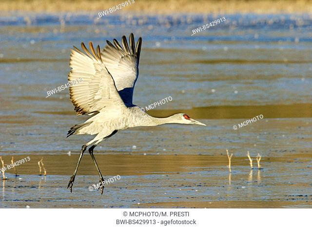 sandhill crane (Grus canadensis), landing, USA, New Mexico, Bosque del Apache Wildlife Refuge