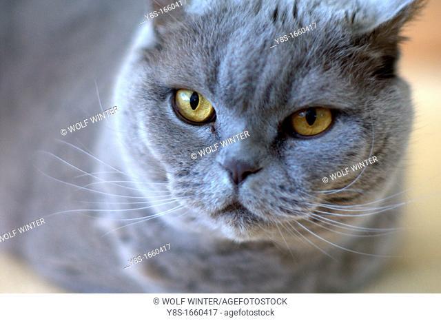 British Short Hair Cat